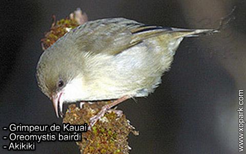 Grimpeur de Kauai – Oreomystis bairdi – Akikiki – xopark3
