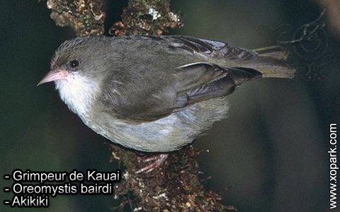 Grimpeur de Kauai – Oreomystis bairdi – Akikiki – xopark4