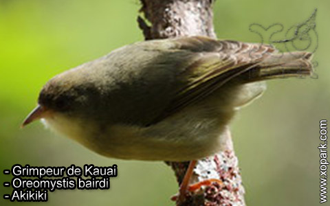 Grimpeur de Kauai – Oreomystis bairdi – Akikiki – xopark5