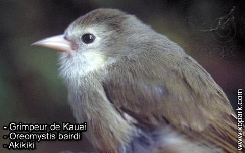 Grimpeur de Kauai – Oreomystis bairdi – Akikiki – xopark7