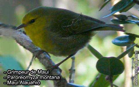 Grimpeur de Maui – Paroreomyza montana – Maui Alauahio – xopark1