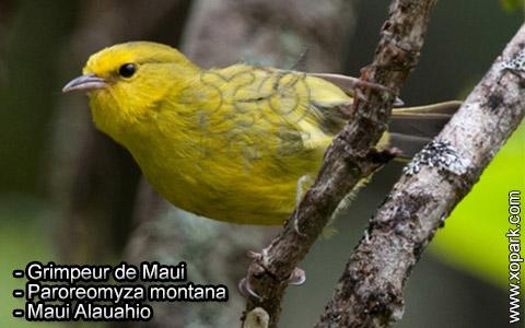 Grimpeur de Maui – Paroreomyza montana – Maui Alauahio – xopark2