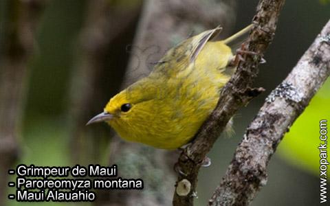 Grimpeur de Maui – Paroreomyza montana – Maui Alauahio – xopark3