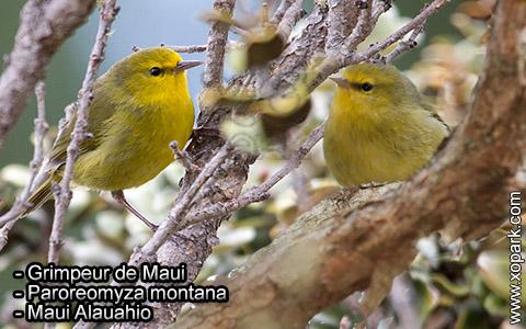 Grimpeur de Maui – Paroreomyza montana – Maui Alauahio – xopark4
