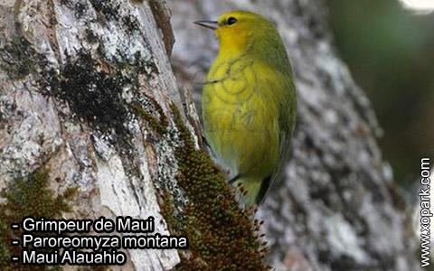 Grimpeur de Maui – Paroreomyza montana – Maui Alauahio – xopark6