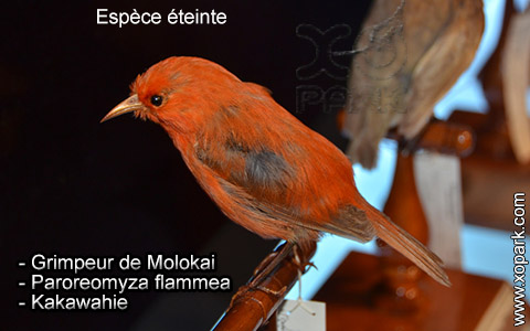 Grimpeur de Molokai – Paroreomyza flammea – Kakawahie – xopark1