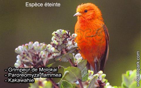Grimpeur de Molokai – Paroreomyza flammea – Kakawahie – xopark2