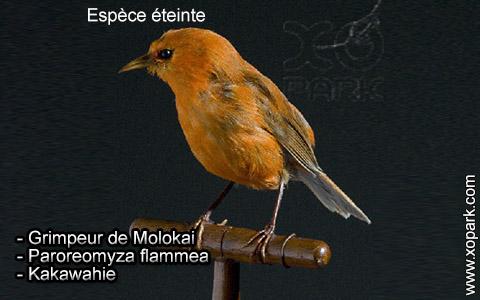 Grimpeur de Molokai – Paroreomyza flammea – Kakawahie – xopark3