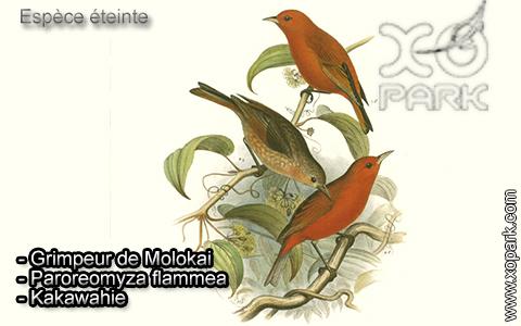 Grimpeur de Molokai – Paroreomyza flammea – Kakawahie – xopark4