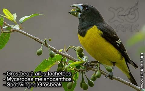 Gros-bec à ailes tachetées – Mycerobas melanozanthos – Spot winged Grosbeak – xopark1