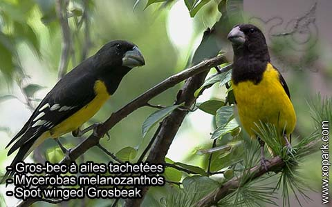 Gros-bec à ailes tachetées – Mycerobas melanozanthos – Spot winged Grosbeak – xopark2