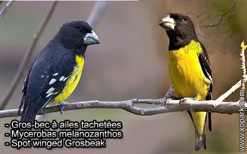 Gros-bec à ailes tachetées – Mycerobas melanozanthos – Spot winged Grosbeak – xopark3