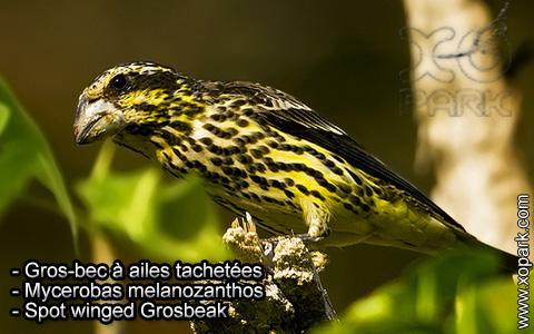 Gros-bec à ailes tachetées – Mycerobas melanozanthos – Spot winged Grosbeak – xopark4