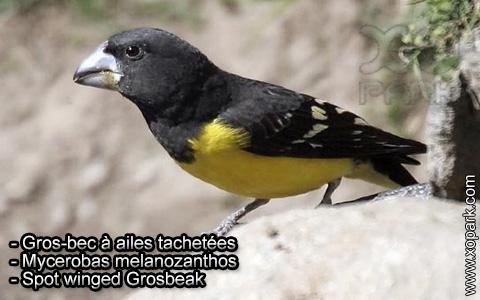 Gros-bec à ailes tachetées – Mycerobas melanozanthos – Spot winged Grosbeak – xopark5