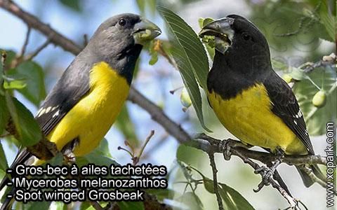 Gros-bec à ailes tachetées – Mycerobas melanozanthos – Spot winged Grosbeak – xopark6