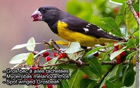 Gros-bec à ailes tachetées – Mycerobas melanozanthos – Spot winged Grosbeak – xopark7