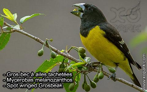 Gros-bec à ailes tachetées – Mycerobas melanozanthos – Spot winged Grosbeak – xopark8