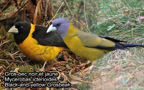 Gros-bec voisin – Mycerobas affinis – Collared Grosbeak – xopark1