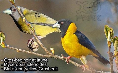 Gros-bec voisin – Mycerobas affinis – Collared Grosbeak – xopark2