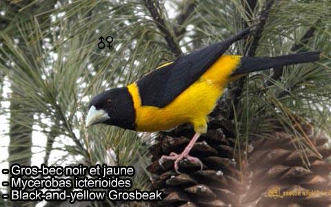 Gros-bec voisin – Mycerobas affinis – Collared Grosbeak – xopark3