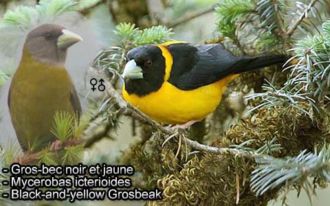 Gros-bec voisin – Mycerobas affinis – Collared Grosbeak – xopark4