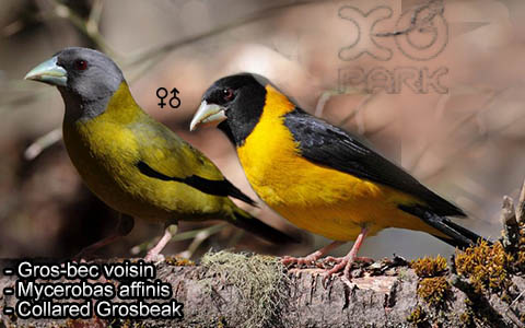 Gros-bec voisin – Mycerobas affinis – Collared Grosbeak – xopark6