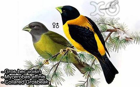 Gros-bec voisin – Mycerobas affinis – Collared Grosbeak – xopark7