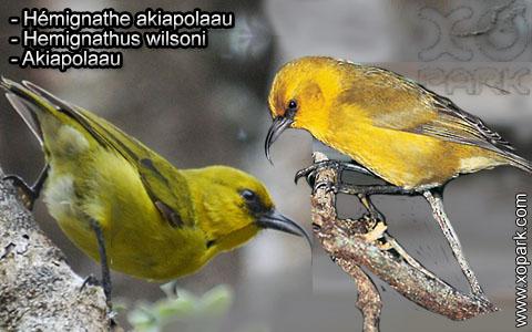 Hémignathe akiapolaau – Hemignathus wilsoni – Akiapolaau – xopark1