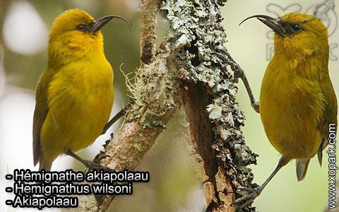 Hémignathe akiapolaau – Hemignathus wilsoni – Akiapolaau – xopark2