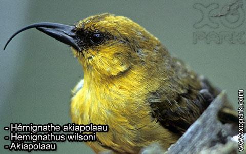 Hémignathe akiapolaau – Hemignathus wilsoni – Akiapolaau – xopark4
