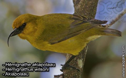 Hémignathe akiapolaau – Hemignathus wilsoni – Akiapolaau – xopark5