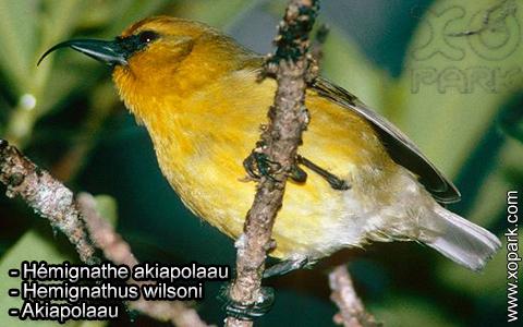 Hémignathe akiapolaau – Hemignathus wilsoni – Akiapolaau – xopark6