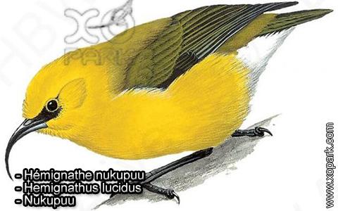 Hémignathe nukupuu – Hemignathus lucidus – Nukupuu – xopark1