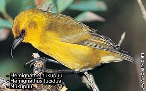 Hémignathe nukupuu – Hemignathus lucidus – Nukupuu – xopark2