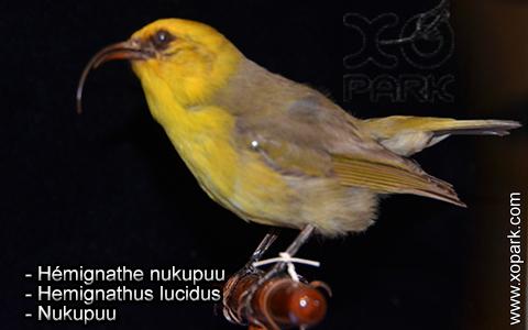 Hémignathe nukupuu – Hemignathus lucidus – Nukupuu – xopark3