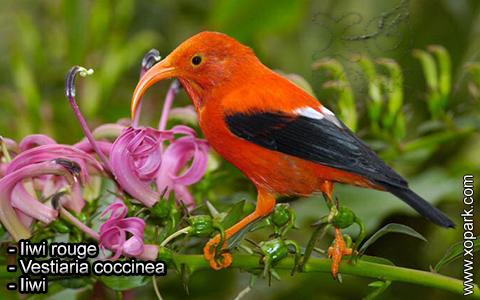 Iiwi rouge – Vestiaria coccinea – Iiwi – xopark1