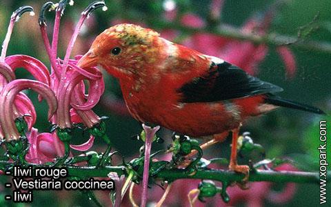 Iiwi rouge – Vestiaria coccinea – Iiwi – xopark10