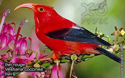 Iiwi rouge – Vestiaria coccinea – Iiwi – xopark2
