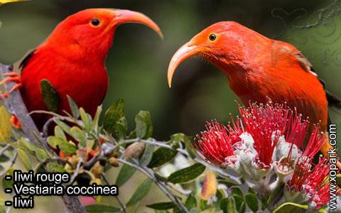 Iiwi rouge – Vestiaria coccinea – Iiwi – xopark3
