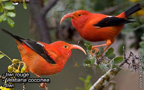Iiwi rouge – Vestiaria coccinea – Iiwi – xopark4