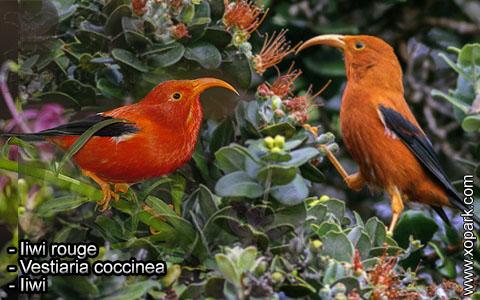 Iiwi rouge – Vestiaria coccinea – Iiwi – xopark5