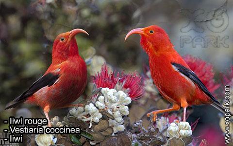 Iiwi rouge – Vestiaria coccinea – Iiwi – xopark6