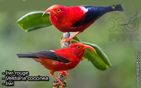 Iiwi rouge – Vestiaria coccinea – Iiwi – xopark7
