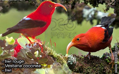 Iiwi rouge – Vestiaria coccinea – Iiwi – xopark8