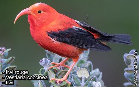 Iiwi rouge – Vestiaria coccinea – Iiwi – xopark9