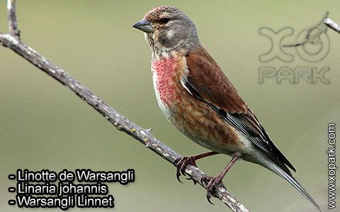 Linotte de Warsangli – Linaria johannis – Warsangli Linnet – xopark1