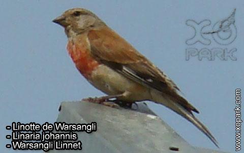 Linotte de Warsangli – Linaria johannis – Warsangli Linnet – xopark2