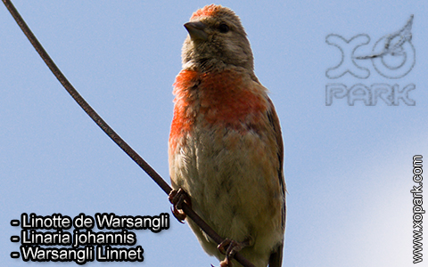 Linotte de Warsangli – Linaria johannis – Warsangli Linnet – xopark3