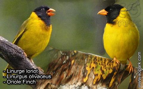 Linurge loriot – Linurgus olivaceus – Oriole Finch – xopark1
