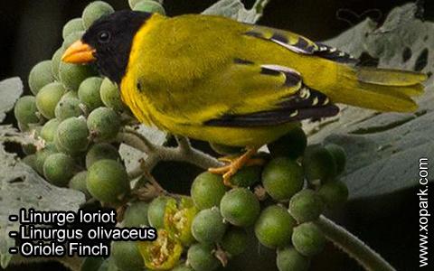 Linurge loriot – Linurgus olivaceus – Oriole Finch – xopark2